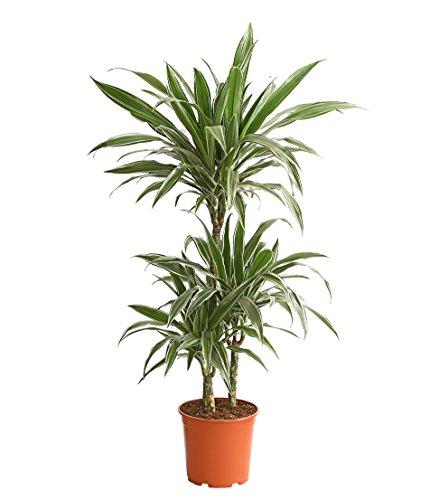 Dehner Drachenbaum White Stripe, dreitriebig, ca. 110-120 cm, Ø Topf 21 cm, Zimmerpflanze