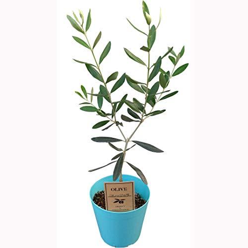 花のギフト社 オリーブの木 鉢植え オリーブ苗 オリーブの樹 オリーブ品種 コレッジョラ 3.5号鉢