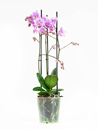 Orquídea flor rosa | Phalaenopsis | Planta interior | Altura 40 cm |