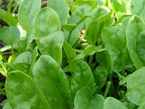 Sorrel Seeds Large Leaf (50 Seeds) Excellent Garden Green