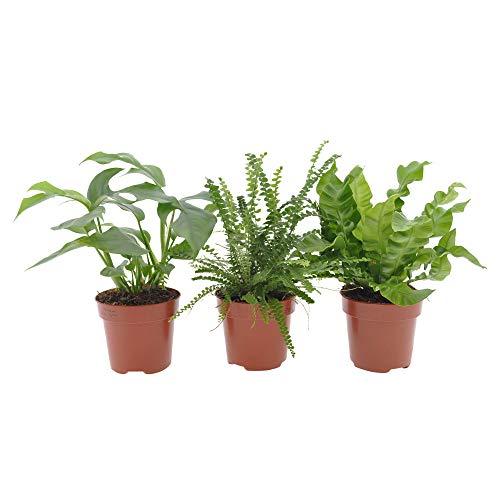 3x Badezimmerpflanzen | 3er Set Tropische Zimmerpflanzen | Pflegeleicht | Fensterblatt, Schwertfarn, Nestfarn | Höhe 20-30cm | Topf Ø 12cm