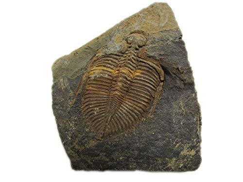 Sunnyhill Real Trilobite Fossil Come from Western Hunan of China 450 Million Years ago