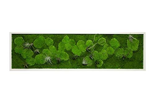 Pflanzenbild kaufen Moosbild mit lebenden Pflanzen Wandbild Moos Wanddeko Poster rechteckig (Weiß, 140x40 cm)