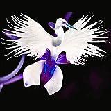 Portal Cool 50 Stücke Japanische Radiata Weiße Taube Reiher Orchidee Samen Schöne Vogelform Blume