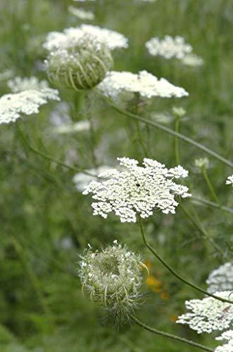 HONIC Queen Anne-s Spitze/Wilde Möhre (Daucus carota) 1 gr Samen
