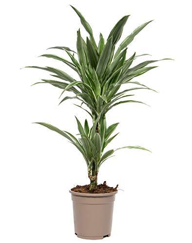 Dracaena deremensis White Stripe, Zimmerpflanze im 17cm Topf, Drachenbaum, Höhe ca. 60cm