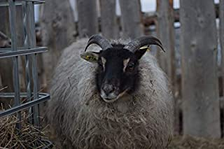 Home Comforts Peel-n-Stick Poster of Sheep with Horns White Sheep Sheep Icelandic Sheep Vivid Imagery Poster 24 x 16 Adhesive Sticker Poster Print