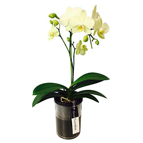 ミニ胡蝶蘭 タンブラーポット4号鉢植え 1本立て /お中元 ギフトに花のプレゼント 生花 鉢植え 開店祝いに 母の日 父の日 敬老の日 おじいちゃん おばあちゃん (イエロー)