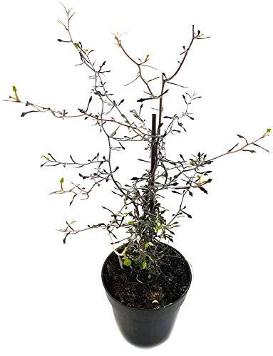 Fangblatt - Corokia cotone - der Zickzackstrauch aus Neuseeland - perfekte Dekoration für kühlere Räume - klein blättrige Zimmerpflanze für den halbschattigen Standort