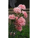 。花の種子:カーネーションの種実ブルーミングレアシーズガーデン[ホームガーデンの種子エコパック】植物の種子
