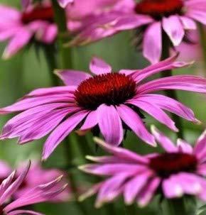 Sonnenhut Little Magnus - großer Topf - Echinacea cultorum