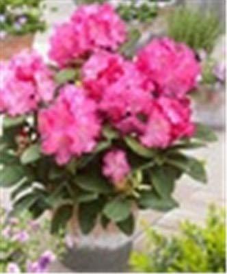 RETS 100 PC/Bag Japanische Azalee Bonsai, Rhododendron Azalea Außen Blumen Bonsai-Baum Sämling Pflanze Hausgarten Einfach zu wachsen: 1