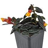"Nematanthus, Goldfish Plant, 3"" (2.6x3.5"") incl. Heat Pack"