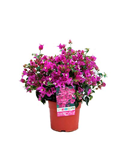 Blumen von Botanicly – 2 × Wunderblume – Höhe: 35 cm – Bougainvillea Sanderiana