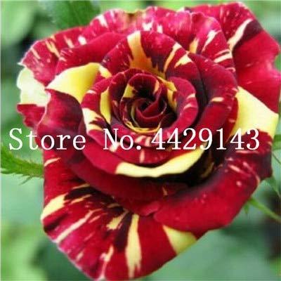 Bonsai Roses 200 PC/Bag Deutschland Rare Drachen Rose Bonsai Blütenpflanzen für DIY Haus Garten & Balkon
