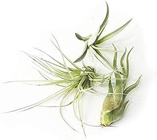 エア-プランツ エアプランツ チランジア おまかせ3種類セット airplants 観葉植物 本物
