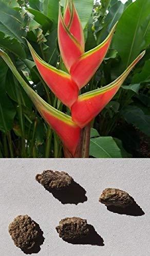 Portal Cool 10 graines de Heliconia Dieseliana Tropical Plante Graines de Musa Banana fleurs