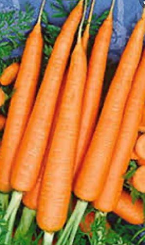 1200 Tendersweet Carrot Seeds | Non-GMO | Fresh Garden Seeds
