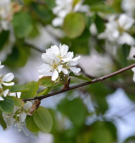 Hochstamm Erlenblättrige Felsenbirne Greatberry Garden 60-80cm - Amelanchier alnifolia