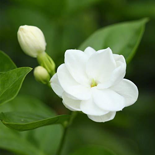 TOYHEART Semillas De Flores De Primera Calidad, 1 Bolsa De Semillas De Jazmín Blanco Estético Fácil De Cultivar Mini Semillas De Flores Naturales Para El Parque blanco