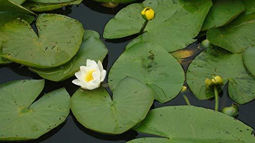 Lotosblume, Lotossamen, Pflanzen Wasserpflanzen Wasser Seerose Blumen Samen Pflanzen für Hausgarten 10pcs e41 Weiß