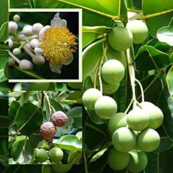 Potseed Keimfutter: 5 Samen, Calophyllum inophyllum Bäume aus Thailand