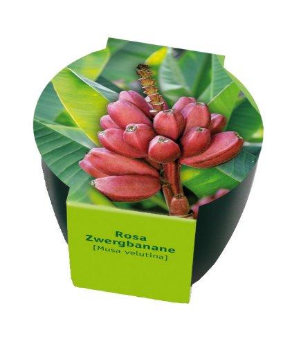 Premium-Pflanzset 'Rosa Zwergbanane'