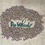 Semillas de Lenteja roja ecológica para germinar 1,5Kg - 3 bolsas de 500g