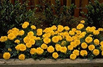 Fash Lady Ringelblume Samen - Französisch Janie Bright Yellow Seed