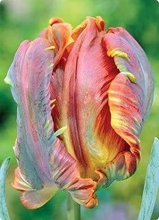 Blumex Parrot Tulip Flower Seed Pack Garden Seeds Fresh
