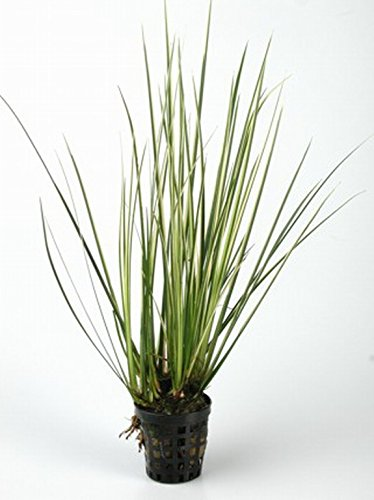 WFW wasserflora Gestreifter Graskalmus/Acorus gramineus 'Varigata' - 'Variegatus' im Topf