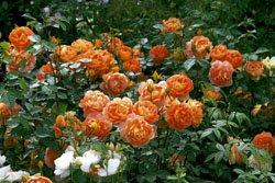 'Pat Austin' -R-, Englische Rose in A-Qualität Wurzelware
