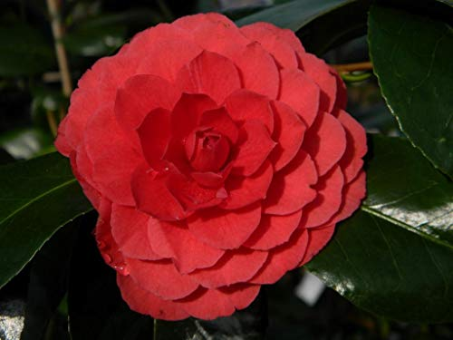 SANHOC Samen-Paket: Camellia Imbricata Rubra - Rose von Winter- inSEED