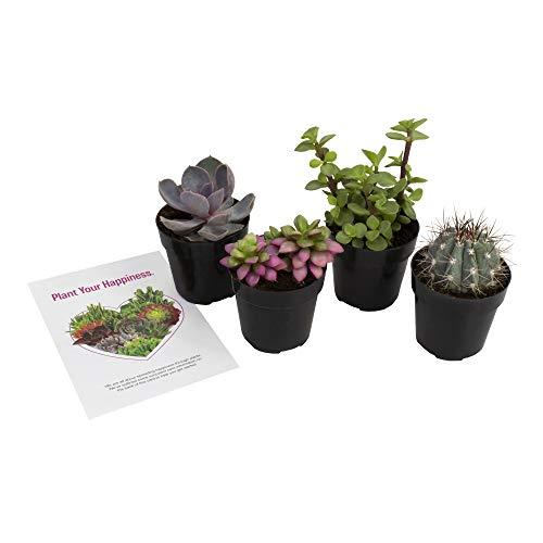 Altman Plants - Live Succulent Plants Fairy Garden Kit (4 Pack) Assorted 2.5