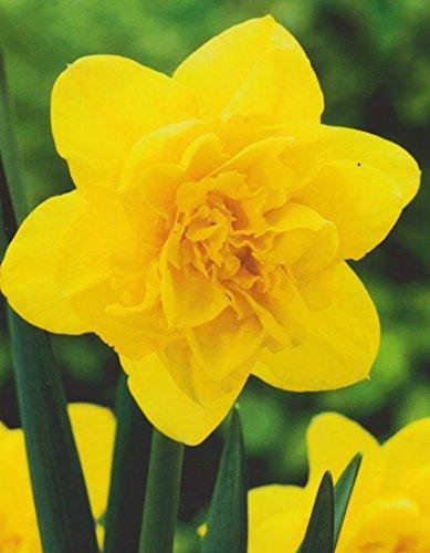 10 Großblumige gefüllte Narzissen Dick Wilden Blumenzwiebeln Narcissus