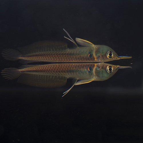 (熱帯魚)ワイルド シルバーアロワナ Sサイズ(5-6cm)(ベビー)<1匹>[生体]