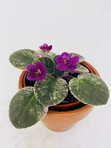 Novelty African Violet - 4' Clay...