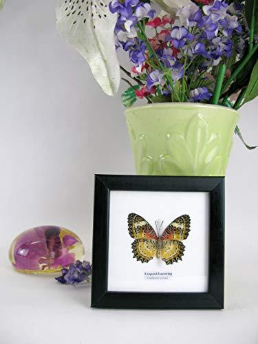 asiahouse24 Echte wunderschöne exotische Schmetterlinge im Schaukasten Bilderrahmen aus Holz - Taxidermy (Leopard Lacewing)
