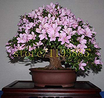 ASTONISH Erstaunen SEEDS: 20pcs / bag Japanische Azalee Samen, Rhododendron Azalee, Blumensamen Baumsamen Blume 15 cos DIY Pflanze Hausgarten Bonsai decken