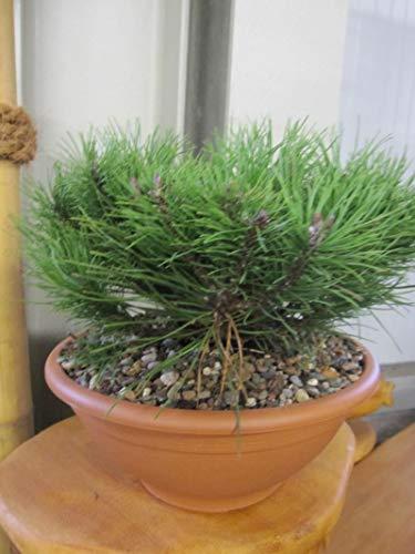 Pinus mugo pumilio Typ Tirol - Zwerg-Bergkiefer Typ Tirol 25-30
