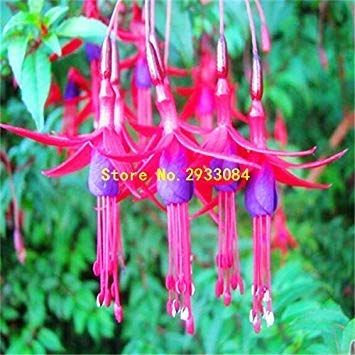 100 Fuchsia Seeds, Bonsai Hanging Flowers F.Alba Coccinnea DIY Planting Flowers Clear