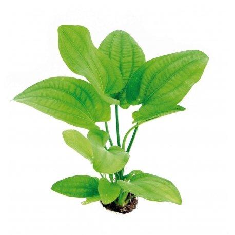 Großer Froschlöffel - Echinodorus Radican / Echinodorus Cordifolius, Aquarium-Pflanze