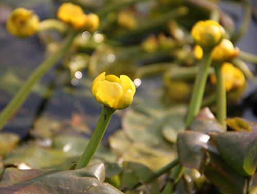 Wasserpflanzen Wolff -   - Nuphar lutea im