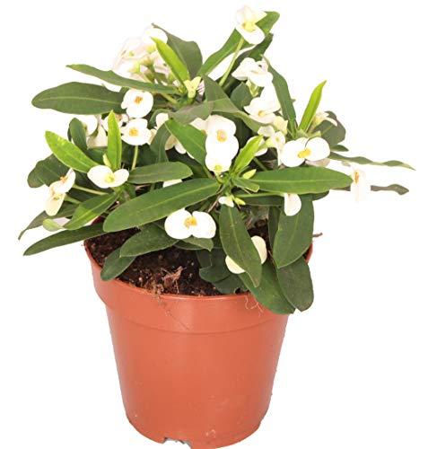 Christusdorn (Euphorbia millii), im 12cm Topf, (Sorte: Snow White, weiss)
