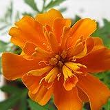 XINDUO Fiori perenni Semi,Semi di Fiori di capelvenere da giardino-500 Capsule,Giardino Semi Pianta Ornamentale