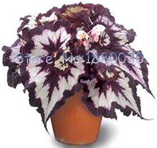 Pot Plant White Plant Coleus 30PCS Unique Purple and Pink and White Colored Spiral Begonia Foliage Landscape Potted Ornamental Plants Coleus