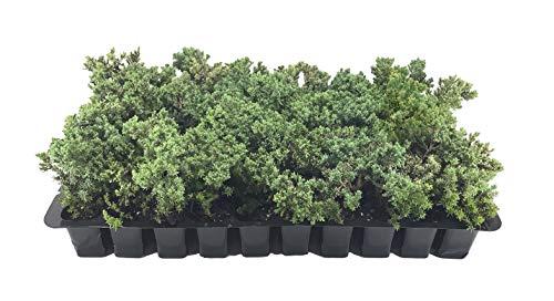 Juniper Procumbens Nana - 30 Live Plants - Drought Tolerant Cold Hardy Evergreen Ground Cover