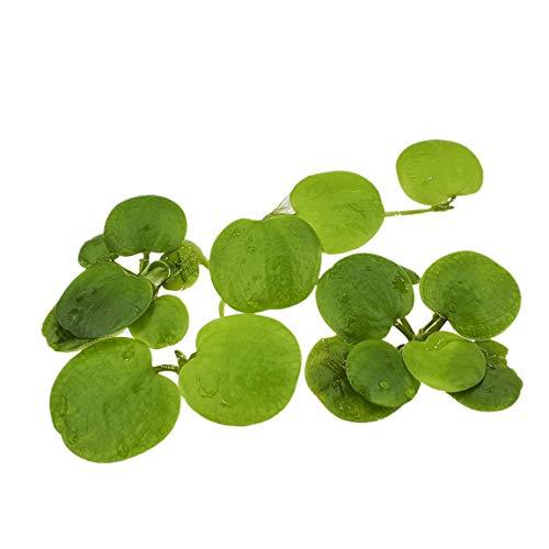 AQ4Aquaristik 1 Portion Südamerikanische Froschbiss, Limnobium laevigatum, Schwimmpflanze für Urzeitkrebs Becken, Teich und Aquarium, schnellwüchsig mit Langen Wurzeln