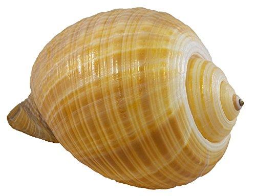 U.S. Muschelschale, 12,7 bis 15,2 cm