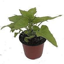 Ornamental Sweet Potato, Marguerite (1, 4 in. (16.9 fl. oz.) Potted Plant)